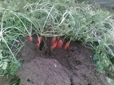 Carrots growing in January inside the Winter Garden's Cool Hoop House